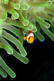 Clownfish on Green Anemone Photographic Print by Alastair Pollock Photography