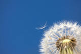 Dandelion, Alishan, Chiayi, Taiwan, Asia, Photographic Print by IMAGEMORE Co, Ltd.