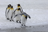 King Penguins Photographic Print by David Tipling