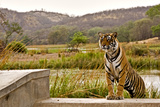 Wild Tiger Walking over a Wall in Ranthambhore Photographic Print by Aditya Singh
