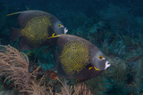 Pair of French Angelfish Pomacanthus Paru Photographic Print by Dickson Images