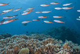 School of Tropical Fish on a Coral Reef Photographic Print by Jeff Hunter