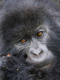 Mountain Gorilla (Gorilla Beringei Beringei) Fotografisk tryk af Mark Smith