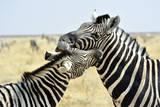 Two Zebras Nuzzling, Etosha Park, Namibia Photographic Print by Marco Brivio
