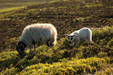 Sheep on Stanage Edge Photographic Print by Andy Stafford