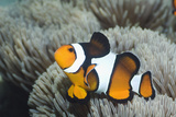 Clown Anemonefish Photographic Print by Georgette Douwma