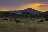 Topi and Zebra at Sunset, Serengeti National Park Photographic Print by John Wang