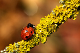 Ladybird on Branch Photographic Print by  MarkBridger