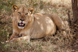 Panthera Leo Photographic Print by Doug Cheeseman