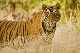 Portrait of a Male Tiger in Ranthambore Photographic Print by Aditya Singh