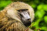 Olive Baboon Photographic Print by Photo by Diane J Geddes, Winnipeg, Canada