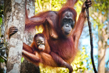 Indonesian Orangutan Family Photographic Print by  Volanthevist
