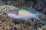 Colorful Parrotfish on a Tropical Coral Reef Photographic Print by Jeff Hunter