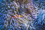 Clownfishes Photographic Print by Masa ASANO