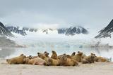 Walruses (Odobenus Rosmarus) Reprodukcja zdjęcia autor Yves Adams