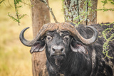 Cape Buffalo Photographic Print by Photo by Diane J Geddes, Winnipeg, Canada