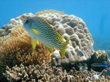 Sweetlips Fish Photographic Print by Mako photo