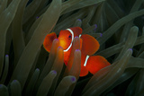 Spinecheek Anemonefish Photographic Print by Alastair Pollock Photography