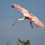 Roseate Spoonbill Reproduction photographique par TNWA Photography