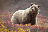 Curious Bear Photographic Print by Jacob W. Frank