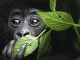 Baby Mountain Gorilla, North West Rwanda Fotografisk tryk af David Yarrow Photography