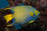 Queen Angel Angelfish, Turks and Caicos Photographic Print by Dickson Images
