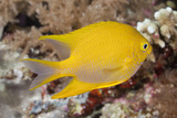 Golden Damsel Fish on a Tropical Coral Reef Photographic Print by Jeff Hunter