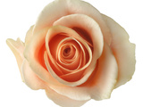 Blooming Pink Peach Rose Photographic Print by Jonathan Kantor