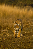 Approaching Wild Tiger in Ranthambhore Photographic Print by Aditya Singh