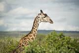 Giraffe at Tarangire Photographic Print by Photograph by Kyle Hammons