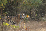 Tiger Coming out of the Forest. Photographic Print by Satyendra Kumar Tiwari