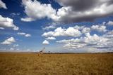 Giraffe at Masai Mara National Park, Kenya Photographic Print by  Angelika