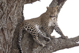 Panthera Pardus/African Leopard Photographic Print by Doug Cheeseman
