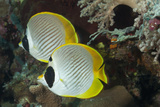 A Pair of Panda Butterflyfish Photographic Print by Jeff Hunter