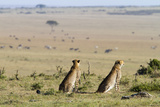 Two Cheetah Watching Animals, Masai Mara, Kenya Photographic Print by  Angelika