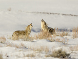 Two Coyote Photographic Print by  richardseeleyphotography.com