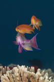 Colorful Tropical Fish (Anthias) on Coral Reef Photographic Print by Jeff Hunter