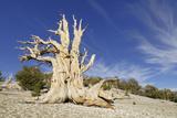 A Bristlecone Pine Tree (Pinus Longaeva) Photographic Print by Martin Ruegner