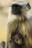 Gray Langur Holding Baby. Photographic Print by Satyendra Kumar Tiwari