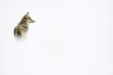 Coyote, Yellowstone National Park Photographic Print by Ben Cranke