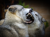 Wolf Fight Photographic Print by Thanks! Steve McKinzie