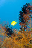 Damselfish and Seafan Photographic Print by Michele Westmorland