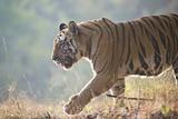 Bengal Tiger. Fotografisk tryk af Richard Packwood