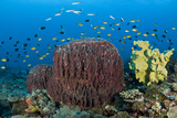Reefscape with Sponges and Schooling Fish Photographic Print by Jones/Shimlock-Secret Sea Visions