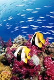 Australia, Bannerfish on the Great Barrier Reef (Digital Composite) Photographic Print by Jeff Hunter