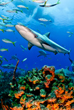 Caribbean Reef Shark and Reef, Carcharhinus Perezi Photographic Print by Todd Bretl Photography