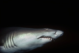 Sand Tiger Shark Photographic Print by Jeff Rotman