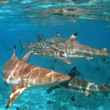 Black Tipped Sharks. Moorea Photographic Print by Mako photo