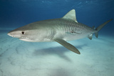 Tiger Shark on White Sand Beach Photographic Print by Alastair Pollock Photography
