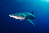 Blue Shark Photographic Print by Joost van Uffelen